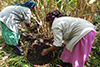 Compost application to cardamom.png